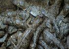 വെല്ലുവിളികളെ അതിജീവിച്ച് ഭിട്ടാർകനികയിൽ മുട്ട വിരിഞ്ഞിറങ്ങിയത് 2500 മുതലക്കുഞ്ഞുങ്ങൾ